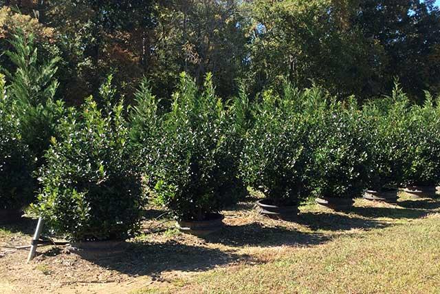 Holly Bush Plant