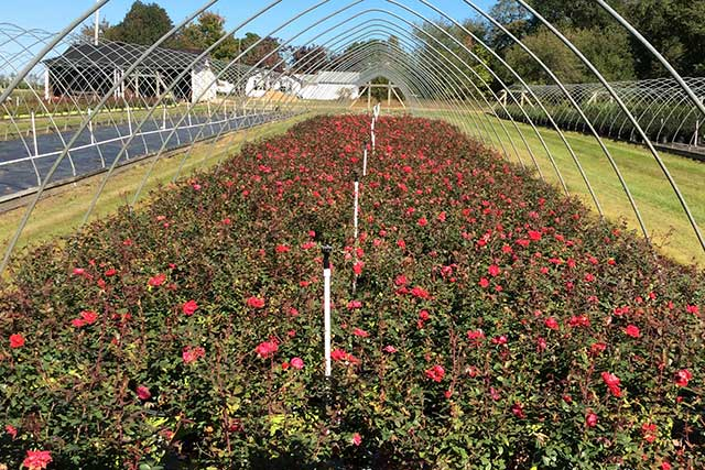 Double Knockout Red Rose