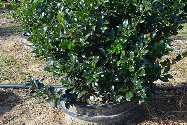 Blue Maid Holly Rj Mehaffey Nursery